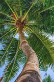 Bottom view of palm tree trunk and branches Stock Photo