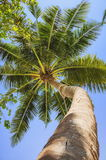 Bottom view of palm tree trunk and branches Royalty Free Stock Images