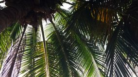 Bottom view on palm tree with young coconuts. Sunlight passes thru green tropical leaves. HD slowmotion stock video