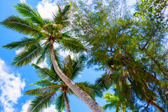Bottom view of the palm trees Royalty Free Stock Photos