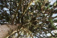 Bottom view of pine tree Royalty Free Stock Photos