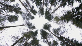 Bottom view of pine trees stock video