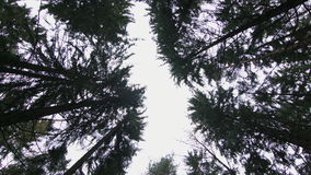 Bottom view of pine trees stock video footage