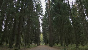 Bottom view of pine trees stock footage