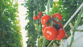 Bottom view of a red-ripe tomatoes` cluster hanging from the branch. 4K stock video footage