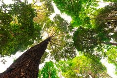Bottom view of Resak Tembaga tree in jungle and lighting of morning.forest and environment concept. Morningforest adventure background beautiful big blurred royalty free stock photo
