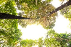 Bottom view of Resak Tembaga tree in jungle and lighting of morning.forest and environment concept. Morningforest adventure background beautiful big blurred stock images