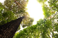 Bottom view of Resak Tembaga tree in jungle and lighting of morning.forest and environment concept. Morningforest adventure background beautiful big blurred stock photos