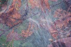 The bottom view of a silk worm on top of it`s web in a tree with fall leafs. The bottom view of a silk worm on top of it`s web in a tree with brown, dry fall Stock Images