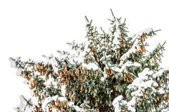Bottom view of a snow covered fir tree with a cones Royalty Free Stock Image