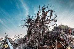 Bottom view of stump with roots Stock Photo