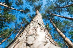 Bottom view of tall old pine trees in evergreen primeval forest Royalty Free Stock Photos