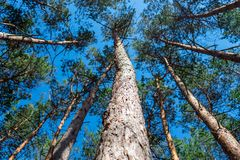 Bottom view of tall old pine trees in evergreen primeval forest Royalty Free Stock Image