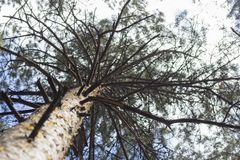 Bottom view of tall old pine trees in the forest. Stock Images