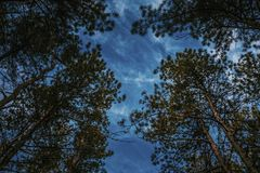 Bottom view of tall old trees in evergreen pine forest. Stock Image