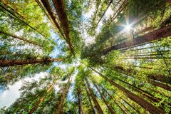 Bottom view of tall old trees in evergreen primeval forest stock images