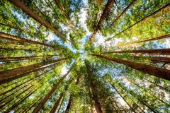 Bottom view of tall old trees in primeval forest stock photography