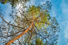 Bottom view of tall pine tree in Ukrainian forest. Bottom view of tall pine tree in a pine forest, Eastern Europe, Ukraine. Bright blue sky with clouds Royalty Free Stock Images