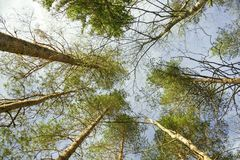 Bottom view of tall pine trees. A photo of look up in the forest. Stock Photography