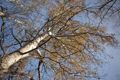 Bottom view of the tall poplars without leaves Royalty Free Stock Photography