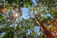 Bottom view of tall trees in the forest, with sun flare Royalty Free Stock Image