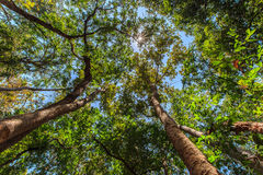 Bottom view of tall trees in the forest, with sun flare Royalty Free Stock Photo