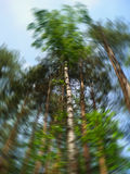 Bottom view of tall trees in a mixed forest in summer. Blue sky in background. Artistic circular blur. Concept of nature royalty free stock photo