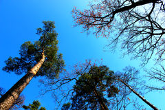 Bottom view of tall trees and sky Royalty Free Stock Images