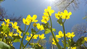 The bottom view to Kaluzhnitsa marsh Caltha palustris on against the background of the blue summer solar sky.  stock footage