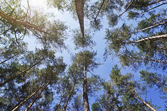 Bottom view of the tops of pine trees Royalty Free Stock Image