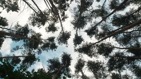 Bottom view on the tops of pine trees growing in coniferous forest.  stock video