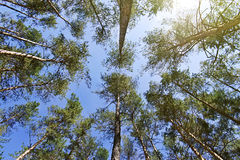 Bottom view of the tops of pine trees Stock Photo
