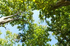 Bottom view of tree and branches with green leaves and blue sky Royalty Free Stock Images