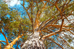 Bottom view of tree crown on blue sky background Royalty Free Stock Images