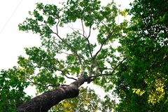 Bottom view of  tree in jungle and lighting of morning.forest and environment concept. Adventurebackgroundbeautifulbigblurredbottom viewbottom forestbottom royalty free stock images