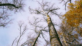 Bottom view of tree tops in the autumnal forest, spinning stock footage
