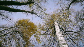 Bottom view of tree tops in the autumnal forest, spinning Royalty Free Stock Image