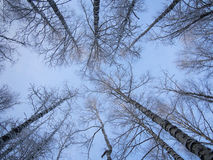 Bottom view of trees. And branches covered with snow, blue sky Stock Images