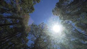 Bottom view of trees in a eucalyptus and coniferous forest on a background of blue sky and sunlight, in motion. Teide
