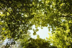 Bottom view of the trees in the forest. Sunlight breaks through the leaves of trees stock photography