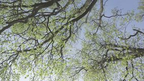 Bottom view on trees with young green foliage in the early spring against the background of the blue sky.  stock video footage