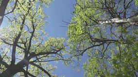 Bottom view on trees with young green foliage in the early spring against the background of the blue sky.  stock footage