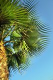 Bottom view of the trunk and leaves of a palm Washingtonia tree against the blue sky.  stock photography