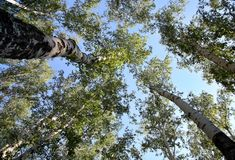 Bottom view trunks of birch trees stretching up Royalty Free Stock Photography
