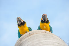 Bottom view of two macaws in their nest Royalty Free Stock Photos