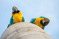 Bottom view of two macaws in their nest Stock Images