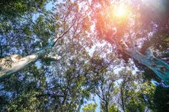 Bottom view of two plane trees and yellowish sun in the sky stock photo