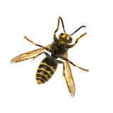 Bottom view of a Wasp Royalty Free Stock Images