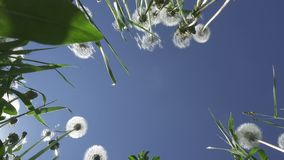 Bottom view on white dandelion field in summer sunny day against the background of the sky with white clouds.  stock video footage