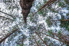 .Bottom view of wild pine trees royalty free stock photography